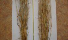 Влияние интродукции гриба Триходерма на урожай и оздоровление почвы