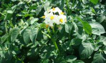 ГУМАТ «Здоровый урожай» — результаты демонстрационных опытов