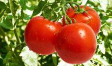 «Как защитить томаты от болезней?» – Тамбовский филиал в радиоэфире